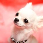 小型犬(チワワ)