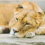 ライオン系女子の特徴