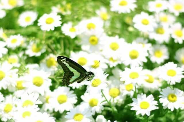 お花畑の中の蝶